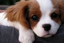 Cavalier King Charles Spaniels / Enjoy the world of this regal, loyal, beautiful, and affectionate breed.
