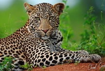 Wildlife / My big desire - the African bush - and you will see it by the pic's - I like feline animals with claws - cat's. / by Heinz Bohli