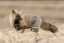 ANIMALS_Foxes / by Cri