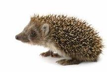 Animals_Hedgehog / by Cri