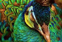 All About Peacocks / by Susan Nunnery