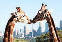 giraffes <3