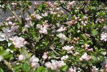 Les Pommiers en fleurs / Quoi de plus beau que la #normandie au #printemps avec ses #vergers de #pommiers couverts de fleurs
