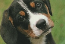Entlebucher Mountain Dog Love / This Pinterest board is dedicated to all things Entlebucher Mountain Dog. Did you know that the Entlebucher Mountain Dog breed celebrates 100 years in March 2013? How pawsome is that? *waggy tail*  Want cute Entle pup pictures? We've got it. Want to learn more about the breed? The links are all here! Have fun exploring and feel free to click the like buttons and share with your followers. / by Alfie Entlebucher