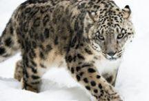 Snow Leopard / Snow Leopards
