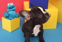 rocco_ourlove / french bulldog