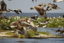 I ♥ Pelicans / Pictures of pelicans