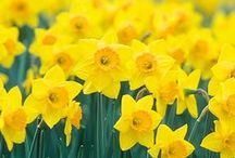 ♥ Gelb / Gelb ist eine klassische Farbe für Frühling und Sommer, weil sie an Sonnenstrahlen erinnert, an Zitroneneis und an leuchtende Narzissen. Lass Dich einfach inspirieren..