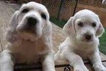 Dogs / English setter