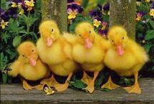 Ducks / by Carol