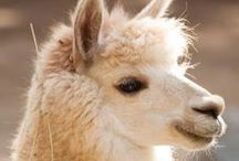 Llama and friends / by Louise Giblin