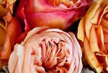 Roses / All things rosy