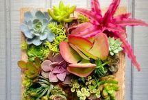 :: Succulents / Succulents - Living Decoration ... I love them!