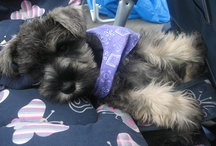 Schnauzer power! / These are the Mini's in my life xx