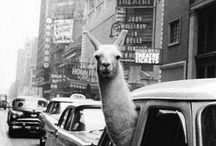 Crazy Llama Lady / Because everything llama is amazing. That's why. / by Candice O'Bannan