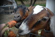 Goats / by Belliacres Homestead