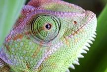 Chameleons / by Carmen .