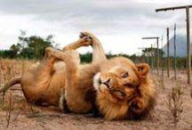 Big kitties / Felines are something... ♡  / by Denise Trombani
