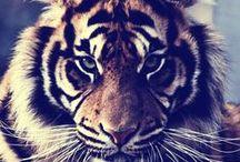 Tigers / by Ashley Christine