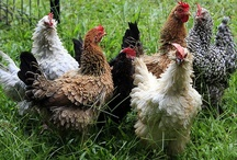 Chickens, Chickens & More Chickens / by Deonna Williams
