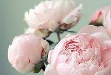 pink peonies / by Aimee