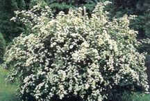 Oklahoma drought resistant shrubs