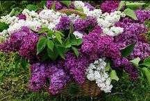Lilacs / Syringa reticulata. Tonight the lilacs magnify the easy passion, the ever-ready love of the lover that lies within us and we breathe an odor evoking nothing absolute. We encounter in the dead of the night the purple odor the abundant bloom. ~ Wallace Stevens