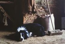 Border Collies / by Colby Williams