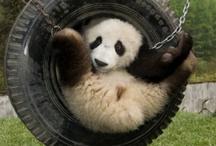 animal planet - panda