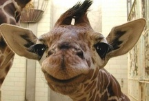 animal planet - giraffe