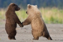 animal planet - bears