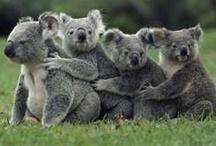 animal planet - koala