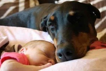 Why I Love Dobermans / What a wonderful dog the doberman is...if you are a doberman lover like me, then I hope you will enjoy these pictures of man's best friend... / by Jill Gray