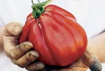 Pomodoro - Tomato / Il re delle tavole italiane.