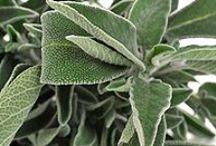 Salvia - Sage / Un fresco profumo che incanta