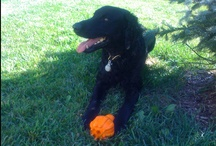 Scout / PupLife's Chief Canine Office and official dog toy tester. / by PupLife Dog Supplies
