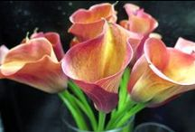 Calla Lilies / The flower of delicate beauty and magnificence