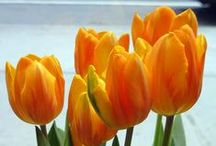 Tulips / The flower of spring
