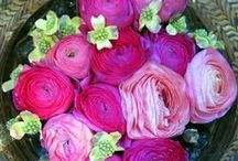 Ranunculus / The flower of radiant charm