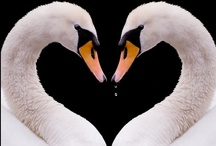 I love Swans / Swans are so beautiful and graceful / by Cheryl Croce Culver