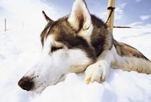 Winter / De winter is een geweldige tijd om Zweden te bezoeken. Ga naar een van de grotere steden om de kerstsfeer te proeven of ga naar het noorden en hoop op het spookachtige noorderlicht, kom slapen in het Icehotel of doe een van de winterse activiteiten zoals een hondensleetocht. Zweden verandert in de winter in een sprookjesachtig landschap waar je een keer geweest moet zijn. / by VisitSweden NL