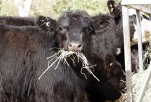 Raising livestock on a small farm / raising livestock on a small farm - we have cattle and chickens that we butcher and want to eventually have goats, sheep and pigs.  Find out more https://linktr.ee/eight_acres_liz