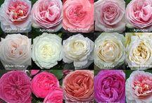 Flower: Garden Roses / by Rose of Sharon Floral Designs