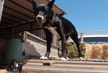 Eight Acres: Training our working dog