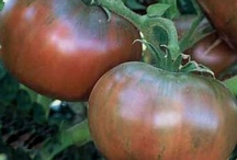 Tasty! / All things edible for Colorado gardeners!