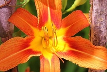 daylillies / by Linda Delamater