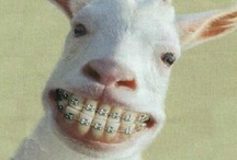 Braces Humor / There's nothing funnier than a goat with braces! Here at Dr. Michelle Neal's office, we like to put a smile on your face all the time!