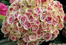 Hydrangea Heaven / We love hydrangeas - they're kind of our specialty when it comes to shrubs! Anyone can grow these showy, long-blooming plants, too: the key is to pick the right ones for your climate and care for them properly. Here's how! / by Proven Winners Plants
