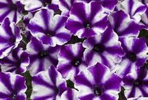 Supertunia Petunias / The Proven Winners Supertunia line of petunias includes dozens of different varieties--double blooms, bi-color blooms, mini blooms and some that are specifically designed to excel in the landscape. Find your favorite right here!