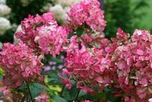 Top Hydrangeas / What is there not to love about the beauty of hydrangeas in the garden? With over 40 different hydrangea varieties for you to choose from, there is a perfect choice for every home!